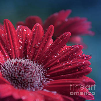 Gerbera Red Jewel by Sharon Mau