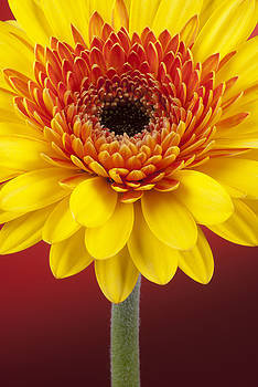 Gerbera by Richard Hayman