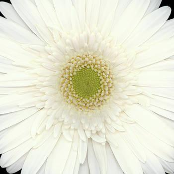 Christopher Gruver - Gerbera White Three