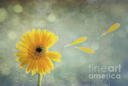 Gerbera With Raindrops by Amanda Elwell
