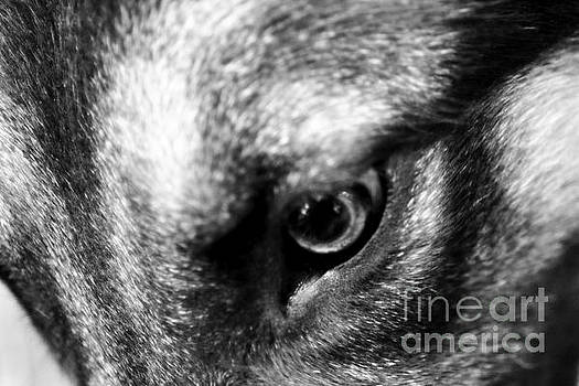 German Shepherd's Eye by Tanya Searcy