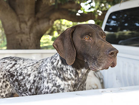 German Shorthaired Pointer by Vicki Vale
