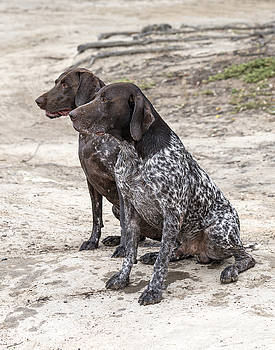 German Shorthaired Pointers by Vicki Vale