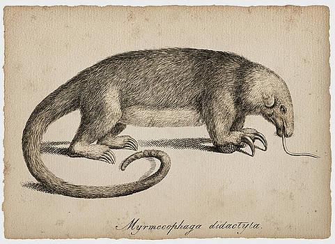 Giant anteater by Sergey Lukashin