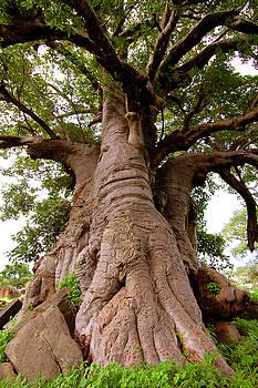 Eduardo Huelin - Giant Baobab tree in Senegal
