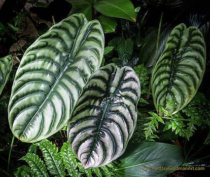 Giant Calladium Leaves by Richard Goldman
