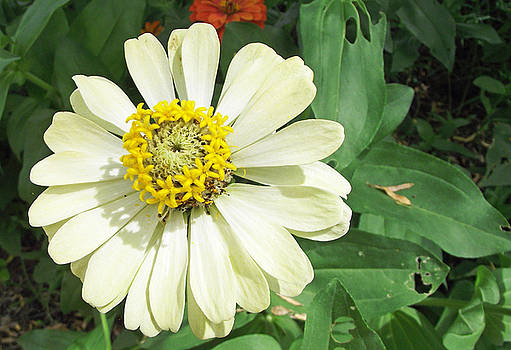Giant Daisy by Russell Pittock