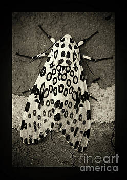 Giant Leopard Moth Black and White Border by Karen Adams