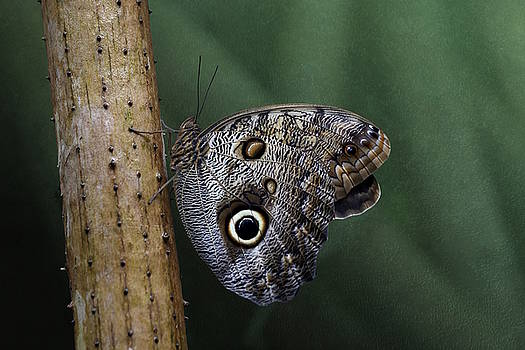 Giant Owl Butterfly on Screw Pine by Debi Dalio