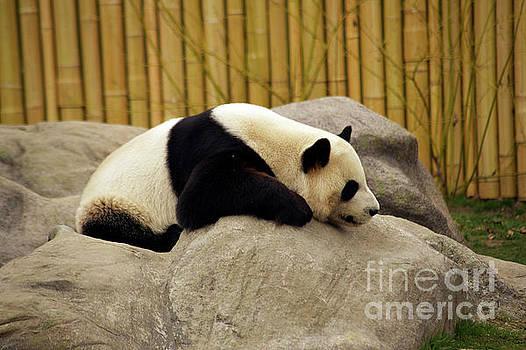 Giant Panda by Elaine Mikkelstrup
