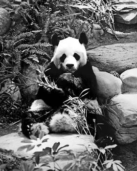 Chris Smith - Giant Panda in Black and White