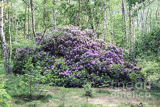 Compuinfoto - Giant purple rhododendron plant in bark forest