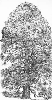 Martin Stankewitz - Giant redwood tree , pen and ink drawing