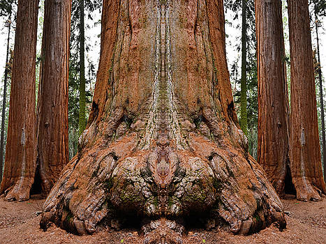 Giant Sequoia Mirror by Kyle Hanson