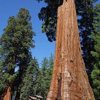 #giant #sequoia #trees by Patricia And Craig