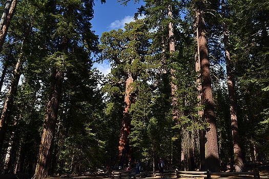 Giant Sequoias by Atul Daimari