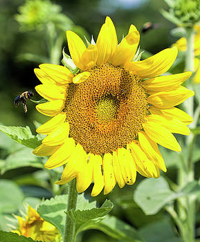 Giant Sunflower Bloom by Kathy Clark