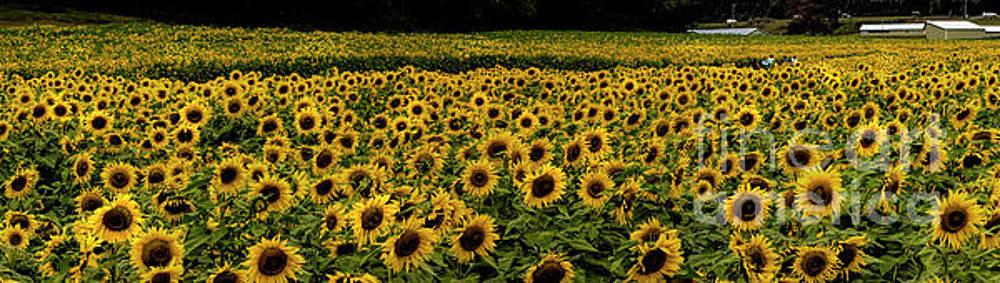 Barbara Bowen - Giant Sunflower Panorama