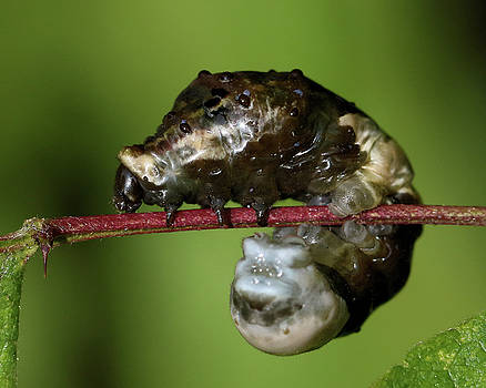 Giant Swallowtail caterpillar in profile by Doris Potter