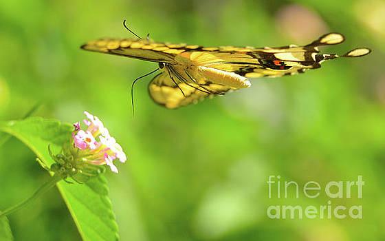 Giant Swallowtail in Flight by Michael Tidwell
