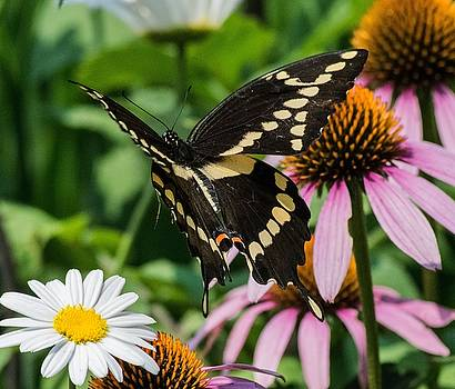 Giant Swallowtail In Flight by Terri Waselchuk