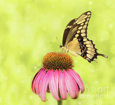 Giant Swallowtail on Coneflower by Sari ONeal