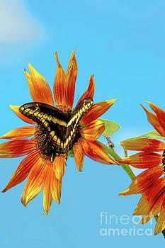 Regina Geoghan - Giant Swallowtail on Orange Sunflower