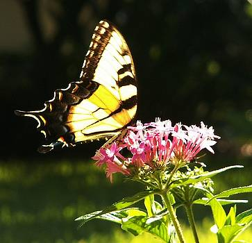 Giant Swallowtail on Penta by Theresa Willingham