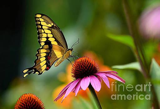 Giant Swallowtail by Sue Stefanowicz