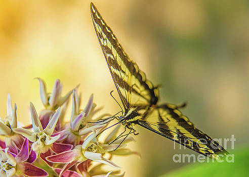 Giant Swallowtail with Yosemite Showy Milkweed by Michael Tidwell