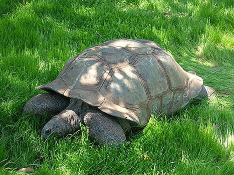 Giant Tortoise by Vickie Roche