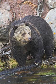 Scott Wheeler - Gibbon River Grizzly