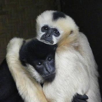 Gibbon Togetherness by Margaret Saheed