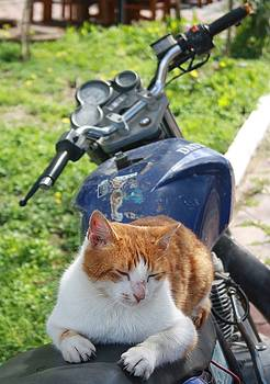 Tracey Harrington-Simpson - Ginger and White Tabby Cat Sunbathing on A Motorcycle