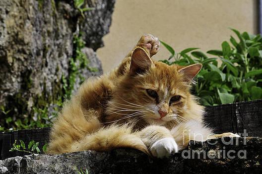 Ginger cat by Daniela White