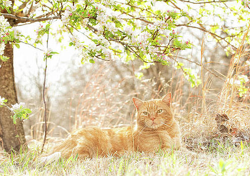 Ginger Tabby and Apple Blossoms by Sari ONeal