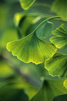 Ginkgo leaf 5 by Steven Foster