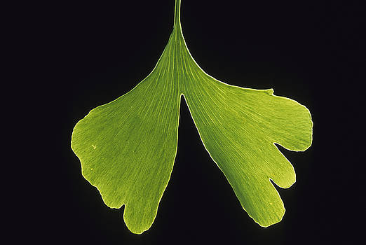 Ginkgo leaf with black background 2 by Steven Foster