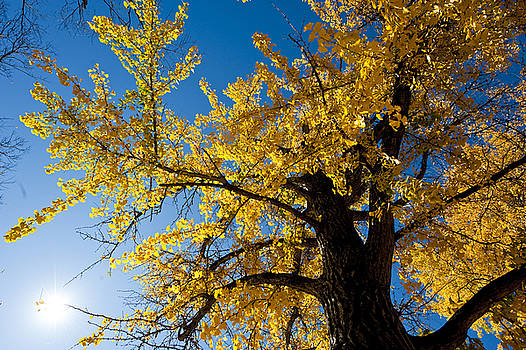Ginkgo tree with autumn leaves-1 by Steven Foster