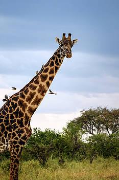 Giraffe Adorned by Birds - Oxpeckers or tickbirds by Mary Lee Dereske
