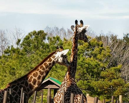 Giraffe Barber Shop by Camera Candy