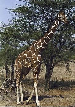 Diane Kurtz - Giraffe