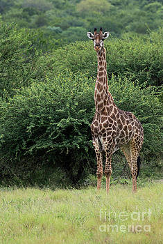 Compuinfoto - giraffe during safari in south africa