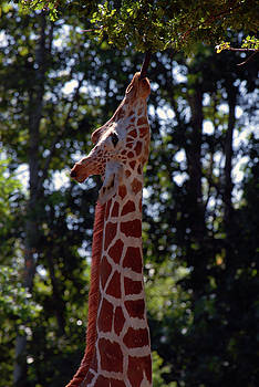 Giraffe Eating by Michelle Halsey