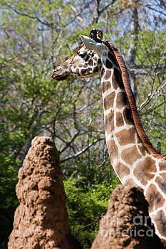 Jill Lang - Giraffe Head