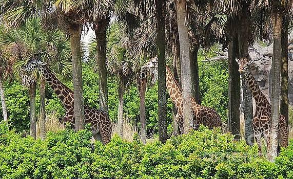 Paulette Thomas - Giraffe Herd