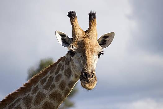 Giraffe in Botswana by Joscelyn Paine