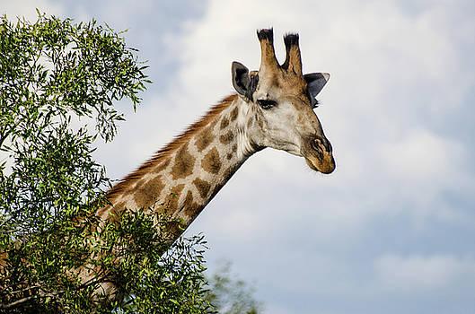 Giraffe in Manyeleti Game Reserve by Rob Huntley
