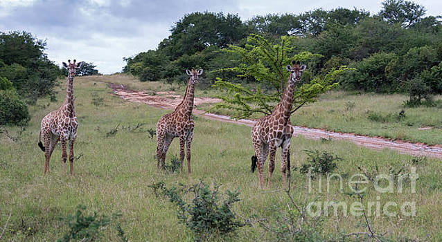 Compuinfoto - giraffe in south africa