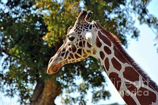 Giraffe Portrait by Inspirational Photo Creations Audrey Woods